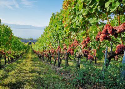 domaine-viticole-vignoble-la-cote-vaud